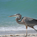 Great Blue Heron Strolling On The Beach by Bonnie Anderson