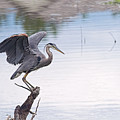Great Blue Heron Sunset 2 by Sharon Talson