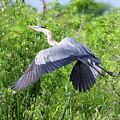 Great Blue Heron Takeoff by Barbara Bowen