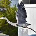 Great Blue Heron Taking Flight by Kim Bemis