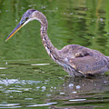 Great Blue Heron - The One That Got Away by Ricky L Jones