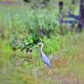 Great Blue Heron Visitor by Kerri Farley