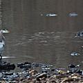 Great Blue Heron Wading 1 by Douglas Barnett