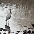Great Blue Heron Wading 2 by Douglas Barnett