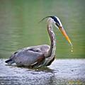 Great Blue Heron Wading by Rikk Flohr