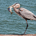 Great Blue Heron Walking With Fish #2 by Patti Deters