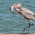 Great Blue Heron Walking With Fish #3 by Patti Deters