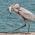 Great Blue Heron Walking With Fish #4 by Patti Deters