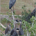 Great Blue Heron Watching Over Nest by Charles Robinson
