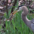 Great Blue Heron With His Catch by Dan Sproul