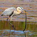 Great Blue Heron Wrestles A Snake by Barbara Bowen
