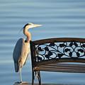 Great Blue Heron....resting My Leg by Barb Dalton