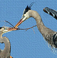 Great Blue Herons Build A Nest by Tom Janca