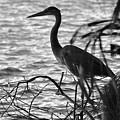 Great Blue In Black And White by Carol Bradley