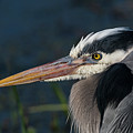 Great Blue by Robert Potts
