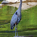 Great Blue Wading The Tuck by Jennifer Robin