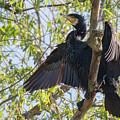Great Cormorant - High In The Tree by Jivko Nakev