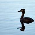 Great Crested Grebe by Claire Wilson