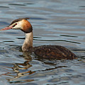 Great Crested Grebe by Maria Gaellman
