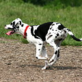Great Dane Harlequin Puppy by David Dunham