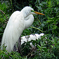 Great Egret 17 by J M Farris Photography