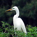 Great Egret 19 by J M Farris Photography
