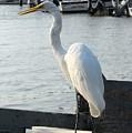 Great Egret 25 by Joyce StJames