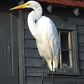 Great Egret 27 by Joyce StJames