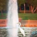 Great Egret by Adam Rainoff