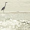 Great Egret Aka Great White Grey Heron In Maldives by Srdjan Kirtic