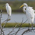 Great Egret And Snowy Egret Perched by Morris Finkelstein