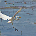 Great Egret Ascending by Bob Slitzan