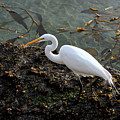 Great Egret At A Low Tide by Susan Wiedmann