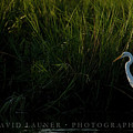 Great Egret At Ft George Inlet  by David Launer