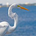 Great Egret At Melbourne Beach by Allan  Hughes