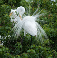 Great Egret by Barb Thompson