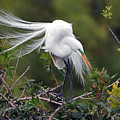 Great Egret Bridal Train by Alan Lenk
