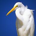 Great Egret by Buddy Mays