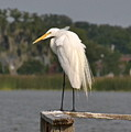 Great Egret by Carol  Bradley