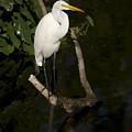 Great Egret by Chad Davis