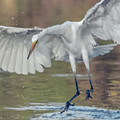 Great Egret Chase 072316-9861-2cr by Tam Ryan