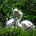 Great Egret Chicks 1 by J M Farris Photography