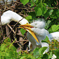 Great Egret Chicks And Mom by Lindy Pollard