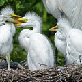 Great Egret Chicks by Lindy Pollard