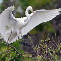 Great Egret Coming In For Landing by Alan Lenk