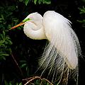 Great Egret by Dennis Goodman