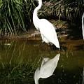 Great Egret  by Gregory E Dean