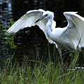 Great Egret Hunting by Roy Williams