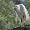 Great Egret II by Keith Lovejoy