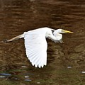 Great Egret In Flight by Al Powell Photography USA